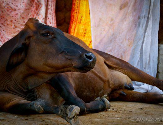 Holy cow at Varanasi