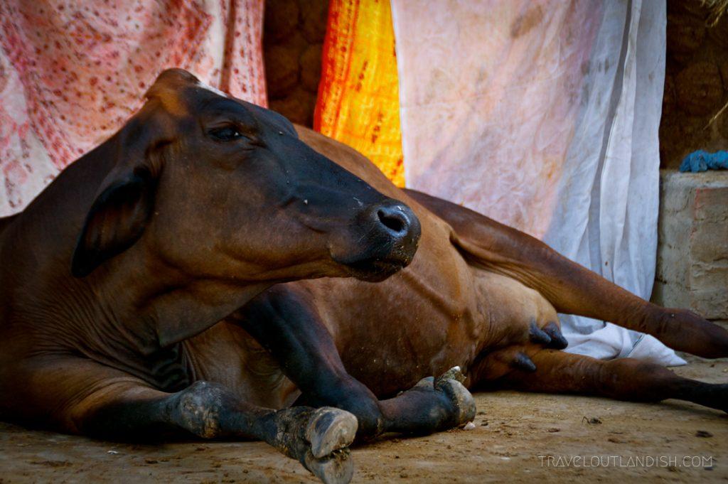 Holy cow in Varanasi