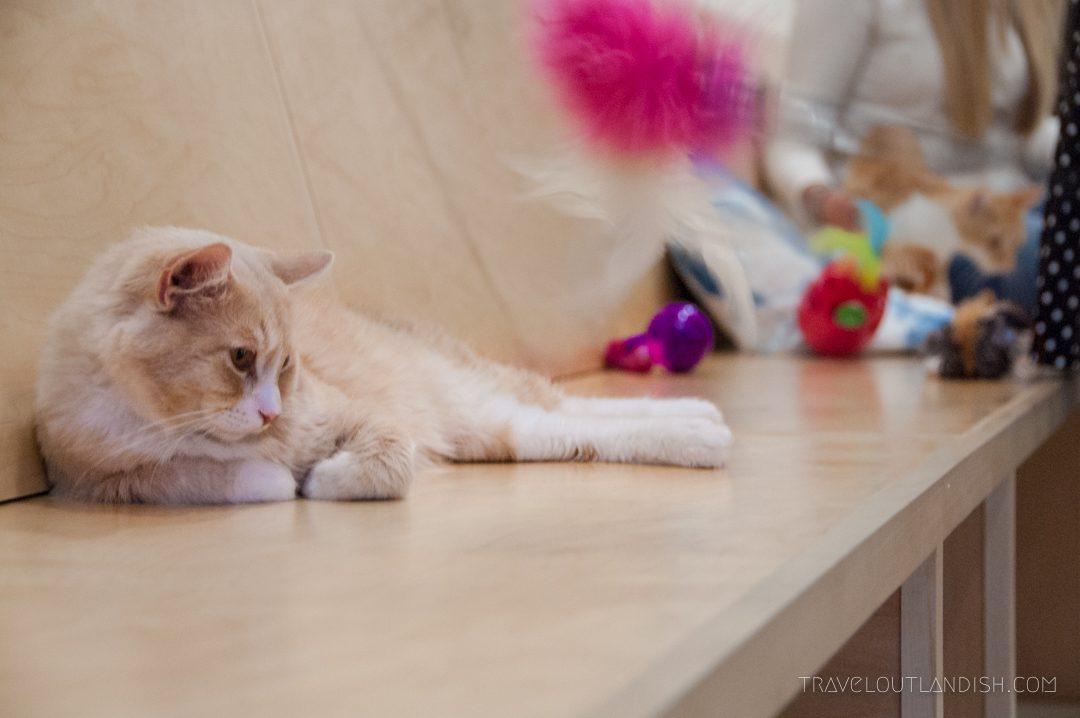 Cat at KitTea Cat Cafe SF