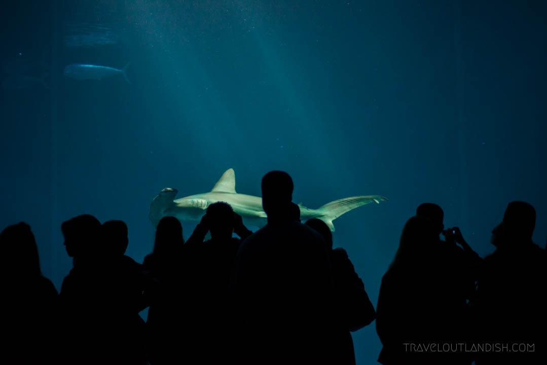 Things to do in Monterey - Hammerhead shark at the Monterey Bay Aquarium