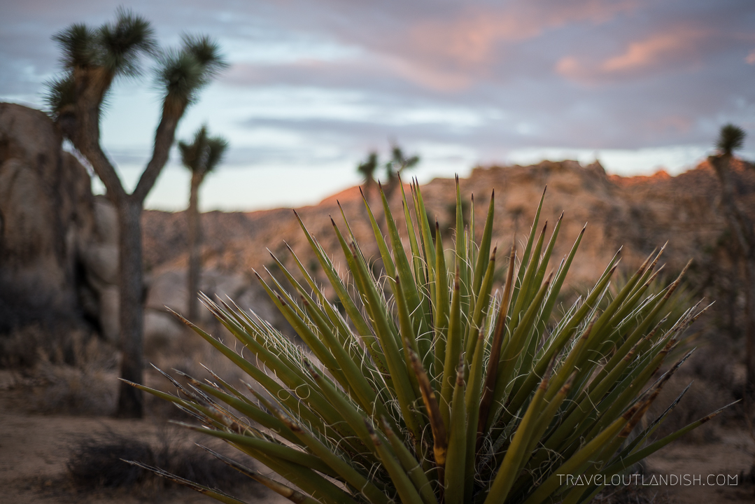 Joshua Tree Guide - Desert Landscapes by Morning