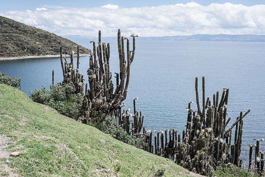 Bolivia - Cactus on Isla del Sol