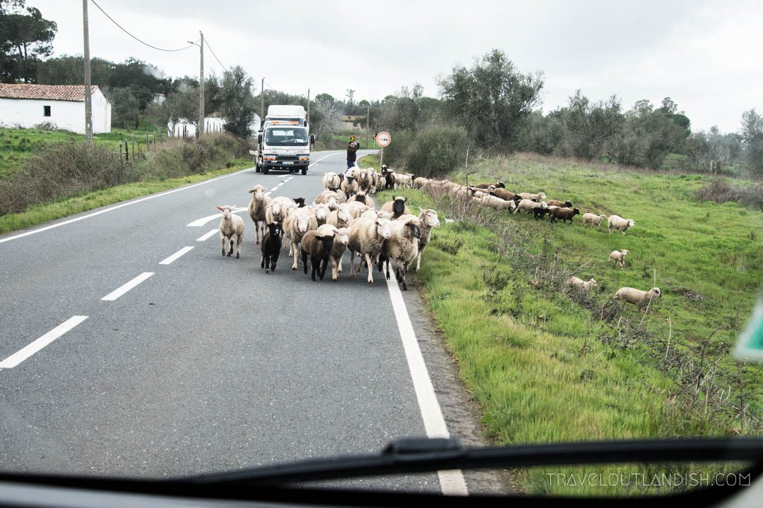 Photos of Portugal - Sheep in the Road