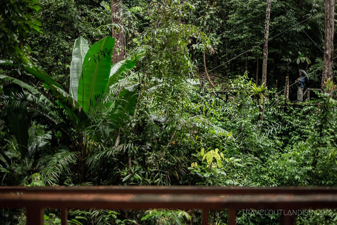 Semenggoh Wildlife Centre - Feeder Calling for Orangutans