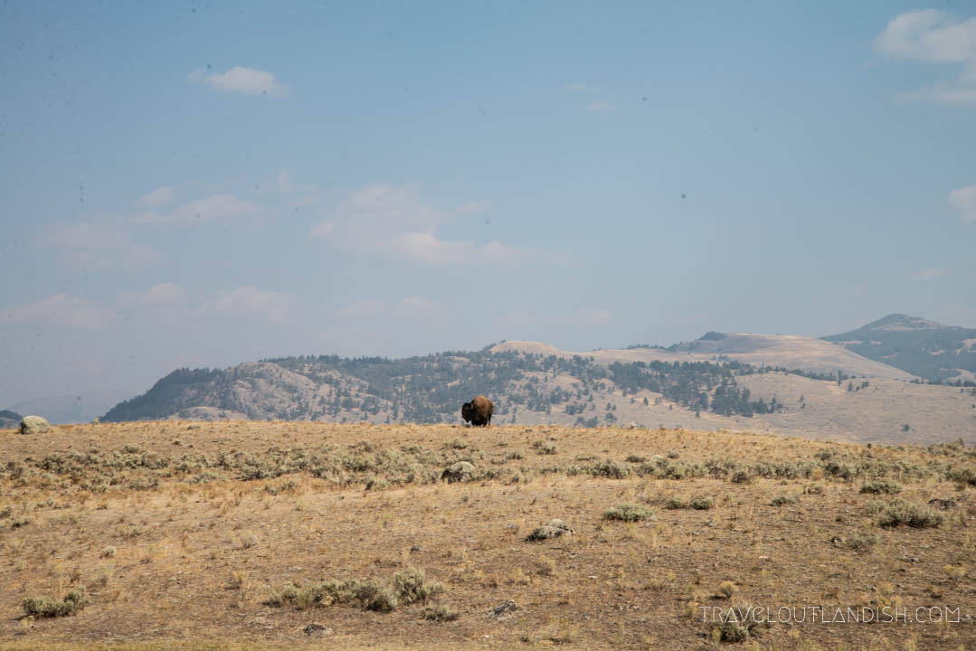 Lone Bison in Yellowstone